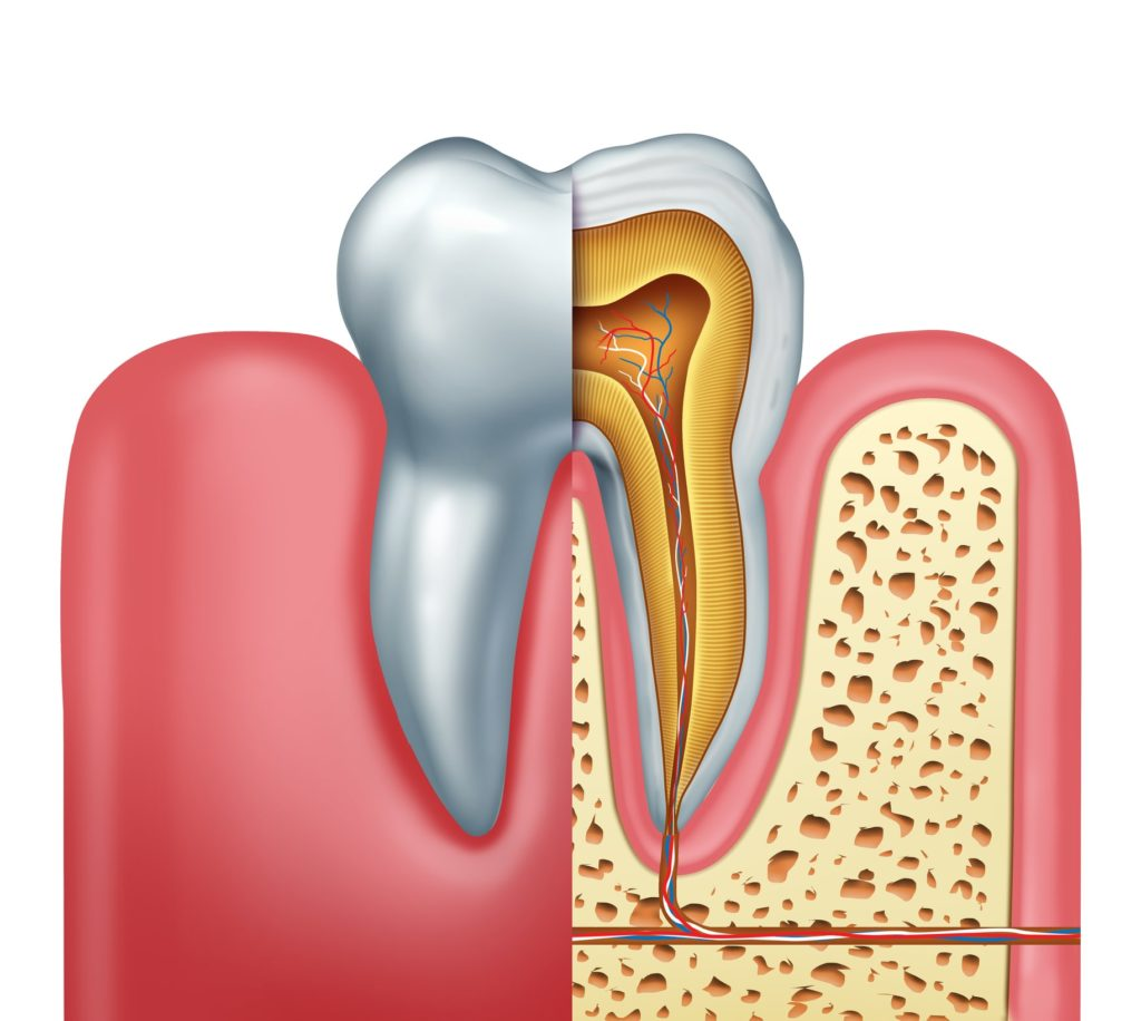 Illustration of a tooth cross section showing nerves and roots